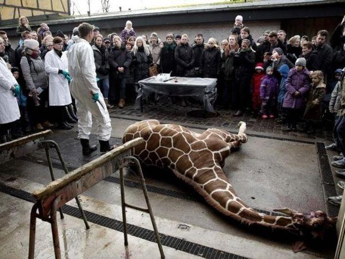 La jirafa Marius yace muerta el 9 de febrero. Los visitantes, incluidos varios niños, presenciaron el ...