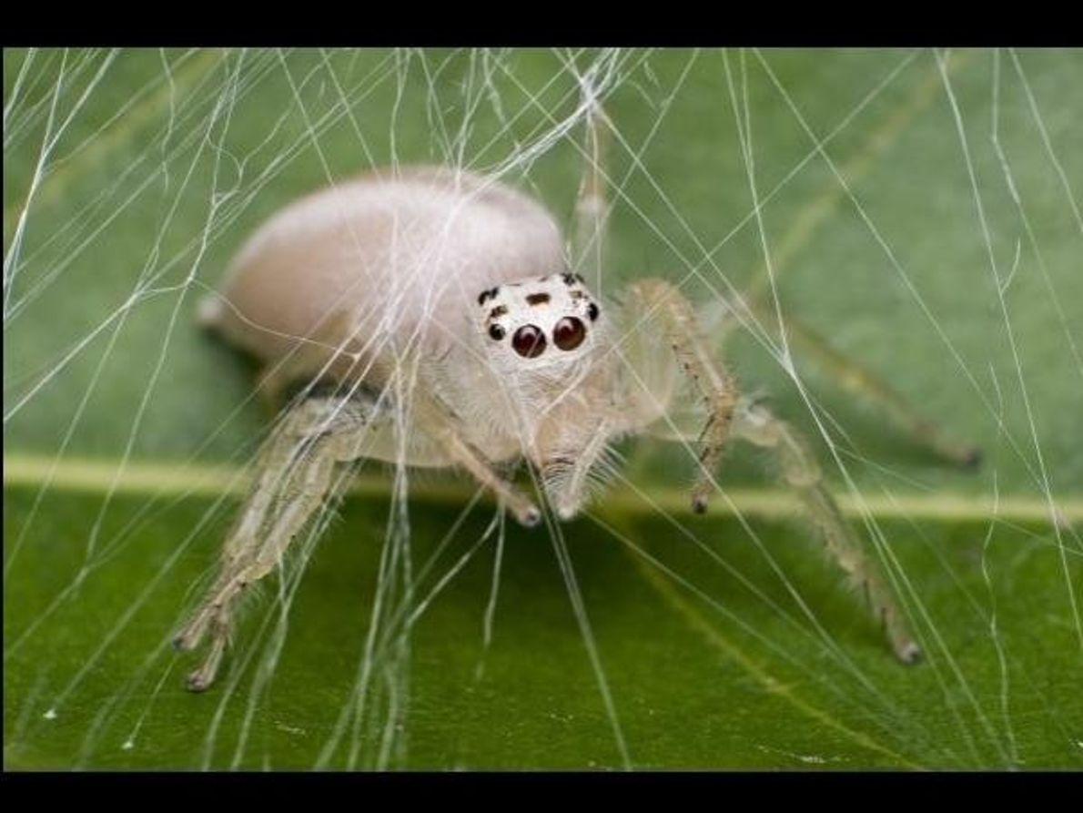 Una araña albina construye su telaraña en 2013.