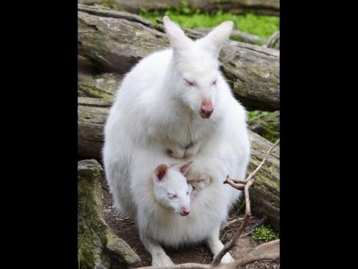 Un ualabí albino y su cría