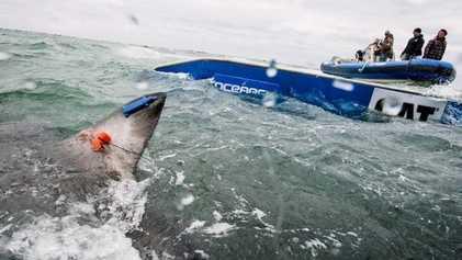 Científicos observan por primera vez a un gran tiburón blanco cruzando el Atlántico