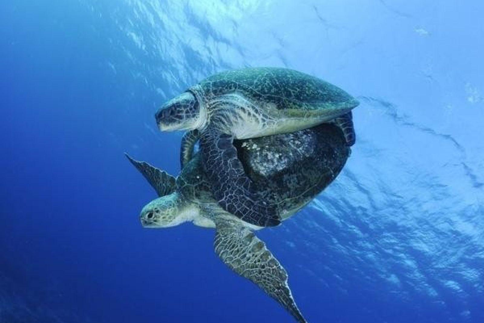 El cambio climático afecta a la reproducción de las tortugas marinas.