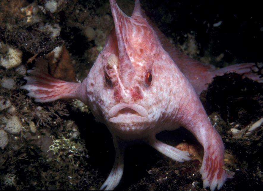 El pez rosado con manos (Brachiopsilus dianthus) es una de las nueve especies recién nombradas descritas ...