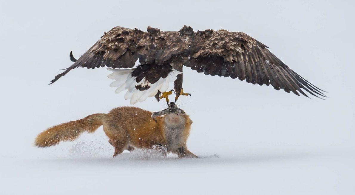 Un pigargo europeo contra un zorro