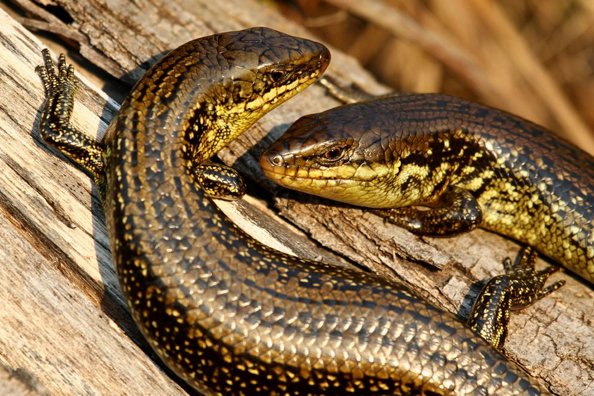 Plestiodon skiltonianus.