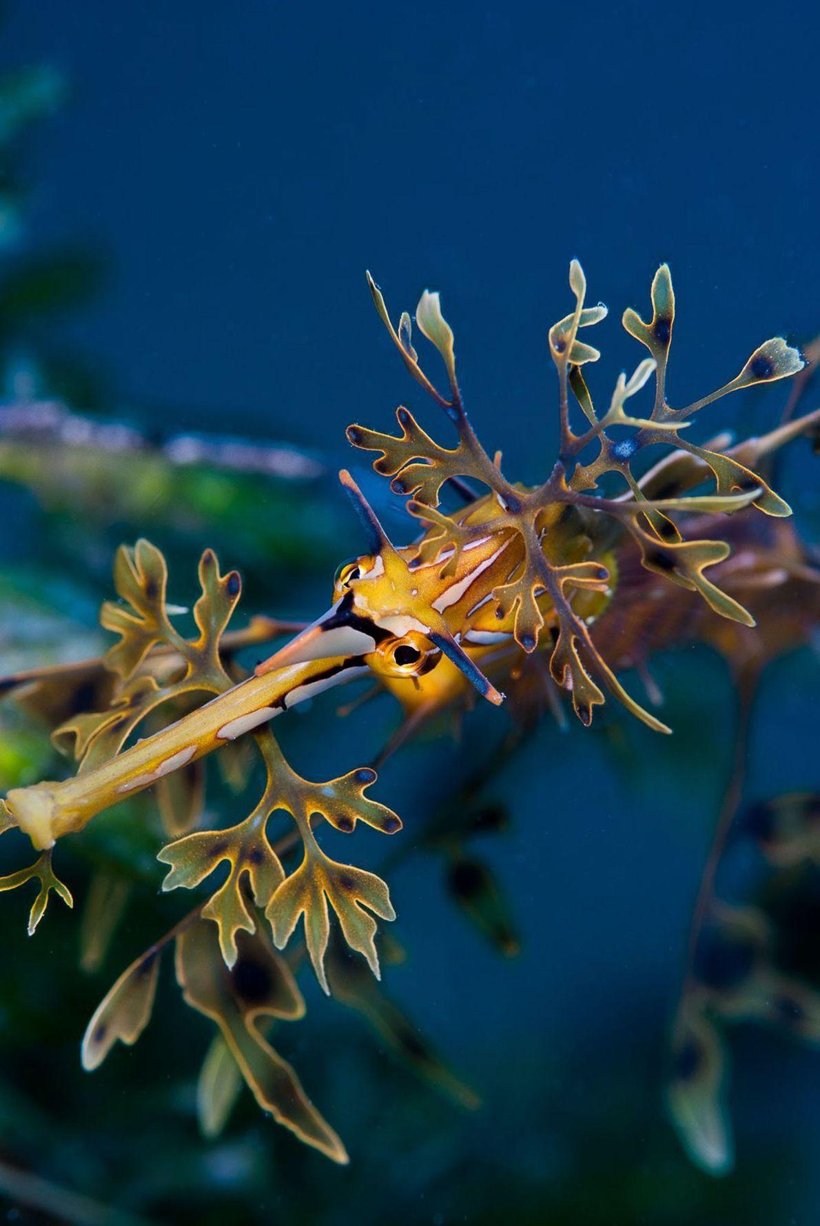 Leafy seadragon. Australia