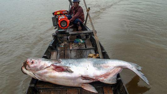 La pesca de peces gigantes en el Mekong
