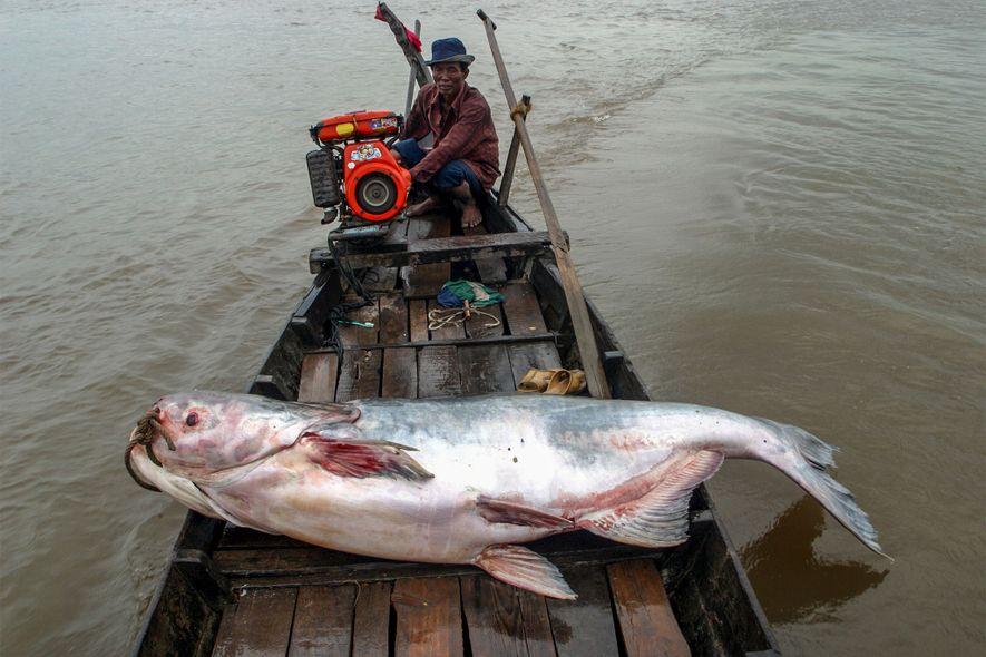 Este pez gato del Mekong —especie estrictamente protegida— fue atrapado en el río Tonlé Sap en …