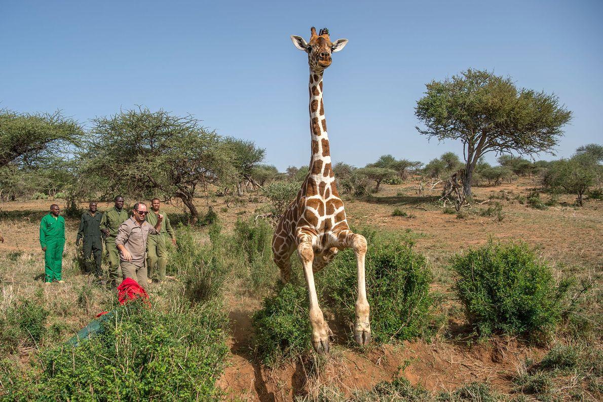 Esta jirafa es puesta en libertad