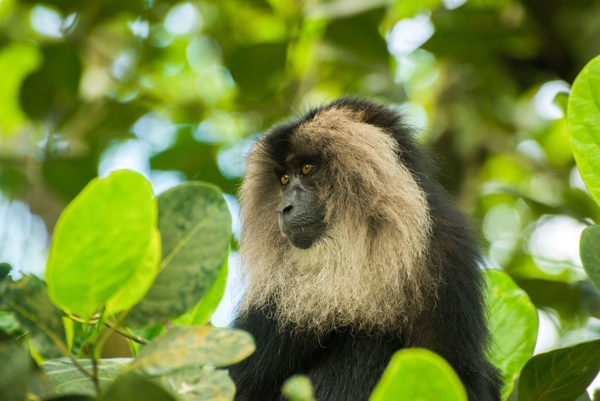The lion-tailed macaque, Macaca silenus, ranks among the rarest and most threatened primates globally due to ...