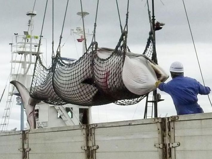 Una ballena de minke es capturada y subida a bordo de un barco.
