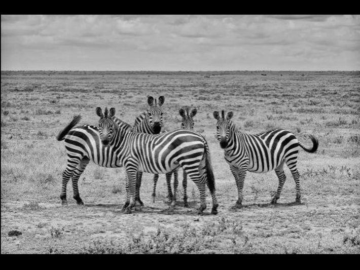 Unas cebras observan a su fotógrafo en Tanzania.
