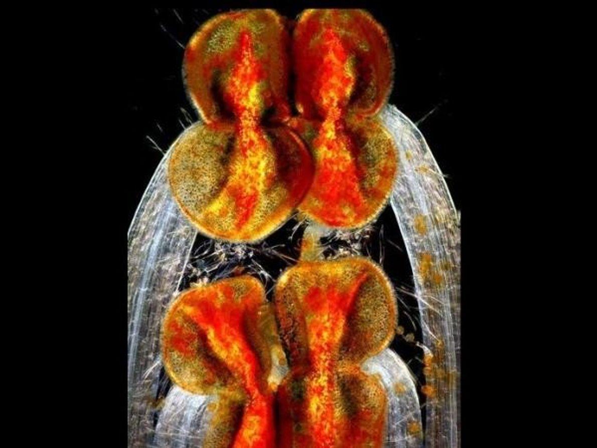 Aquí vemos los órganos reproductivos masculinos (estambres, anteras y filamentos) de un ejemplar de Lamium amplexicaule, planta procedente …