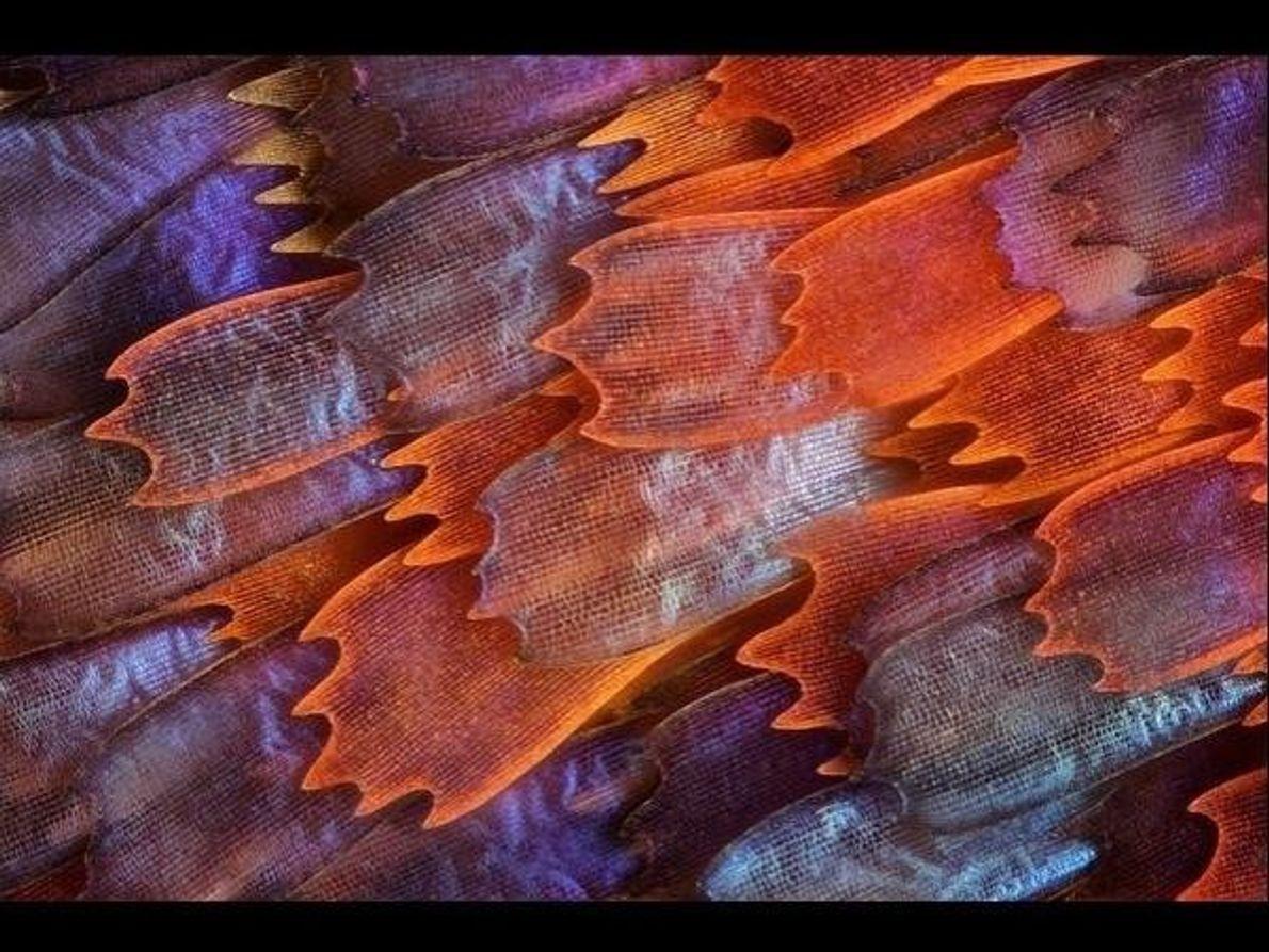 Las pequeñas escamas que cubren las alas de una mariposa Panacea prola reflejan la luz formando esta hermosa …