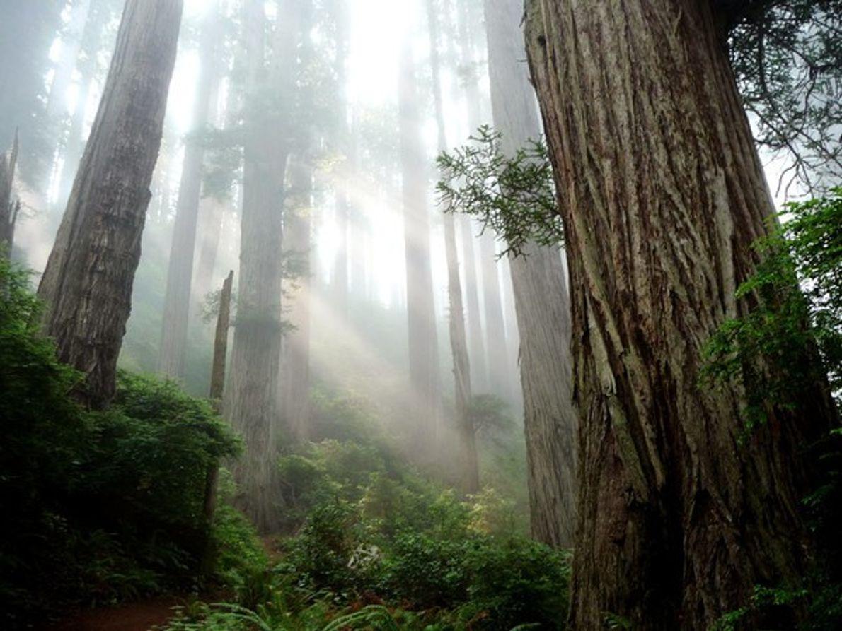 Parque Nacional de Redwood, California