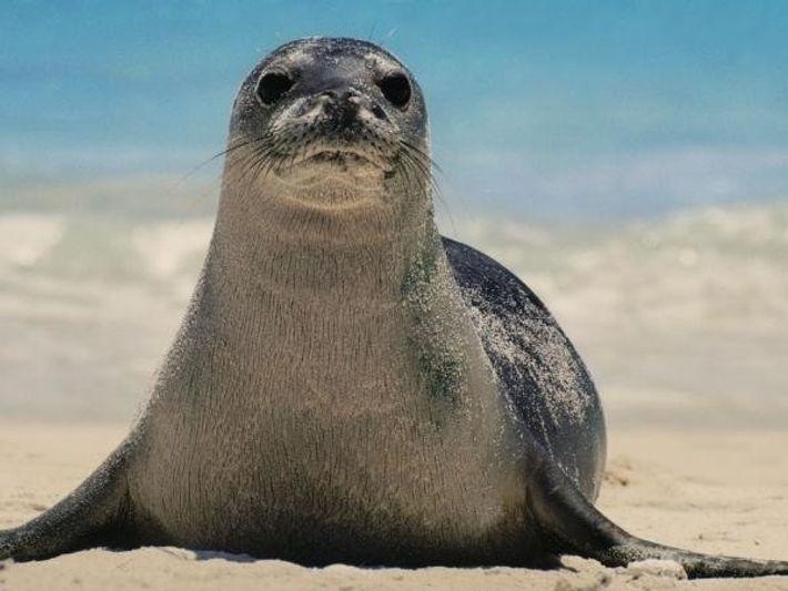 Una foca monje de Hawái.