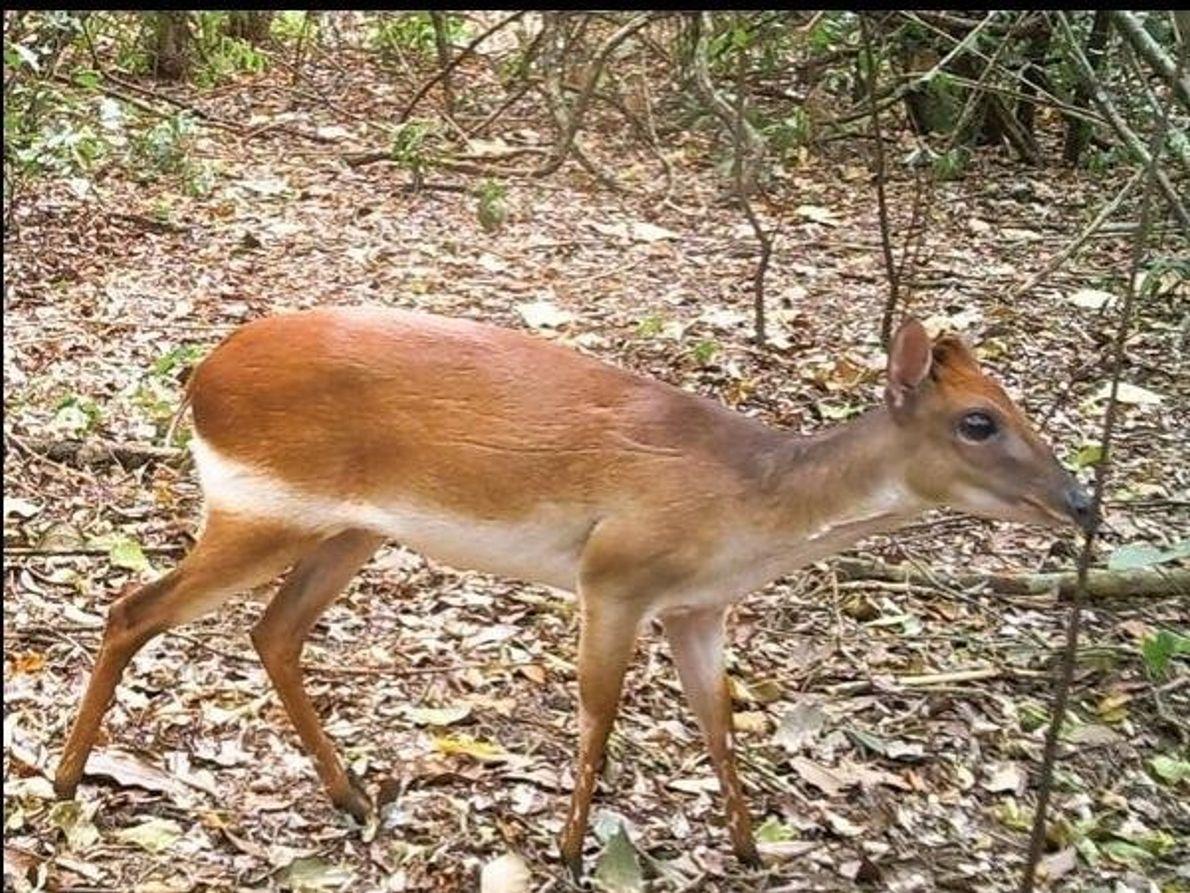 Antílope «cazado»