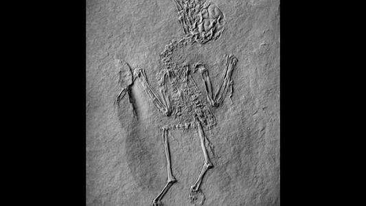 Encuentran en Alemania el fósil del primer pájaro polinizador
