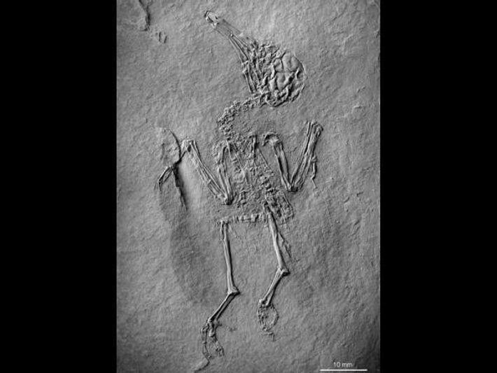 Pumiliornis tessellatus medía unos ocho centímetros, aproximadamente el tamaño de un colibrí.