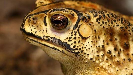 Madagascar, a punto de ser invadido por un sapo
