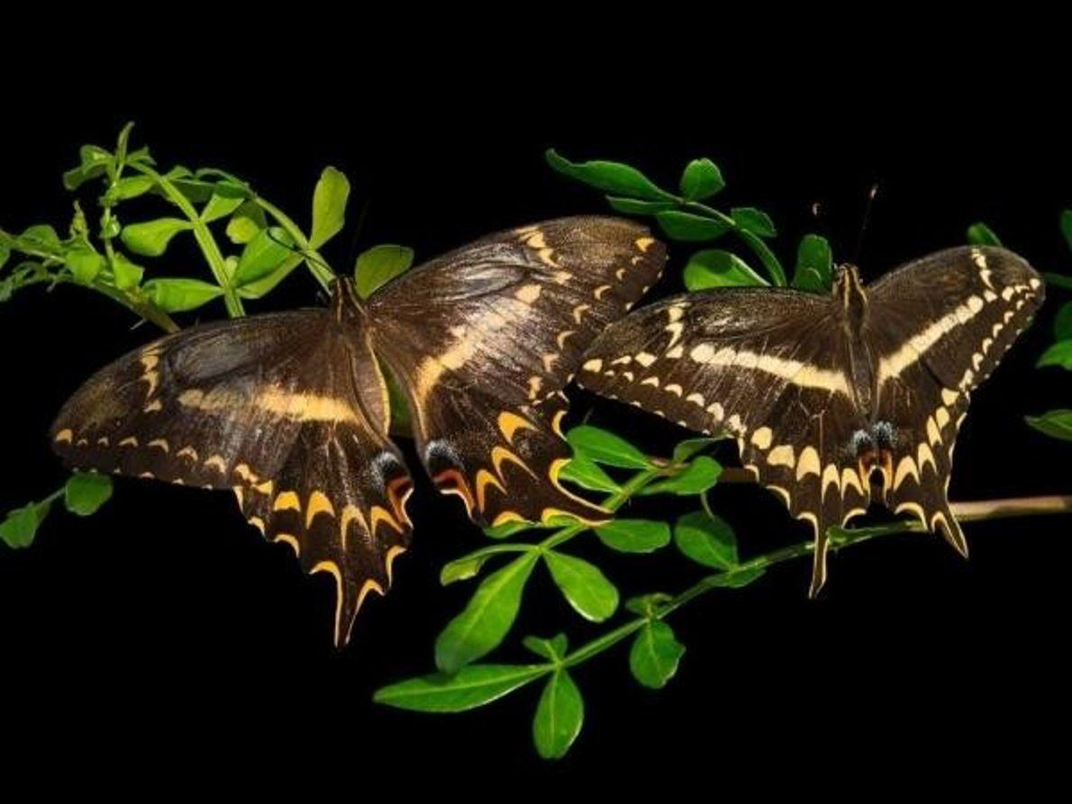 Mariposas en peligro