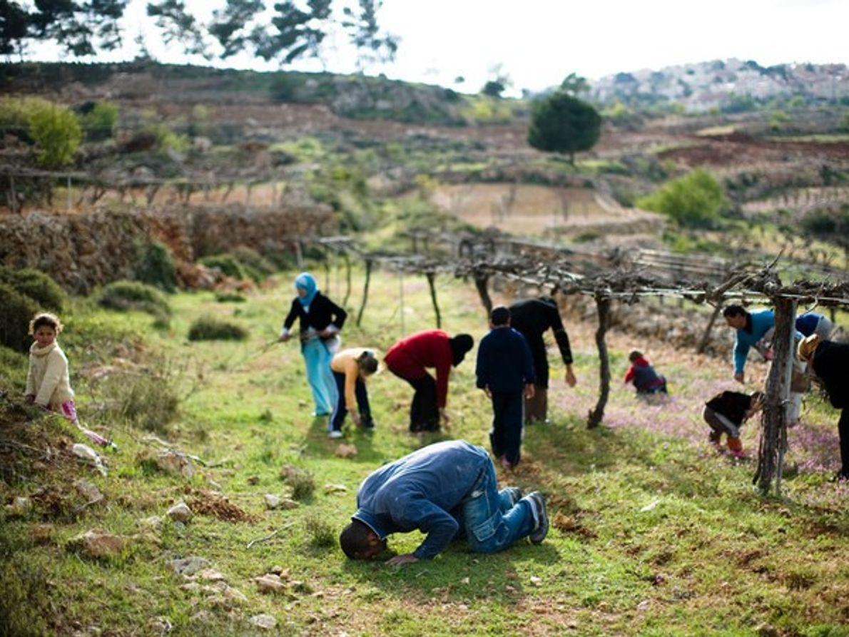 Viñedo en Cisjordania