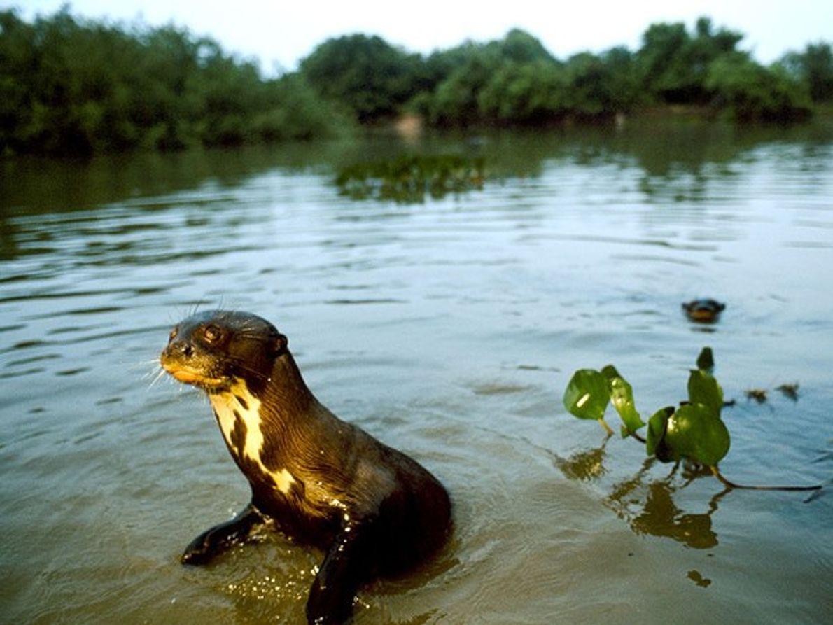 Joven nutria gigante de río
