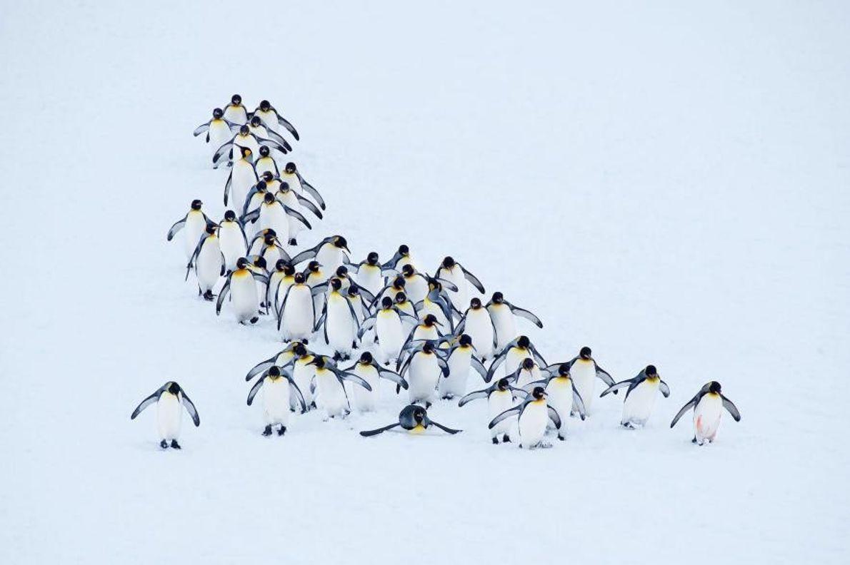Un pelotón de pingüinos rey