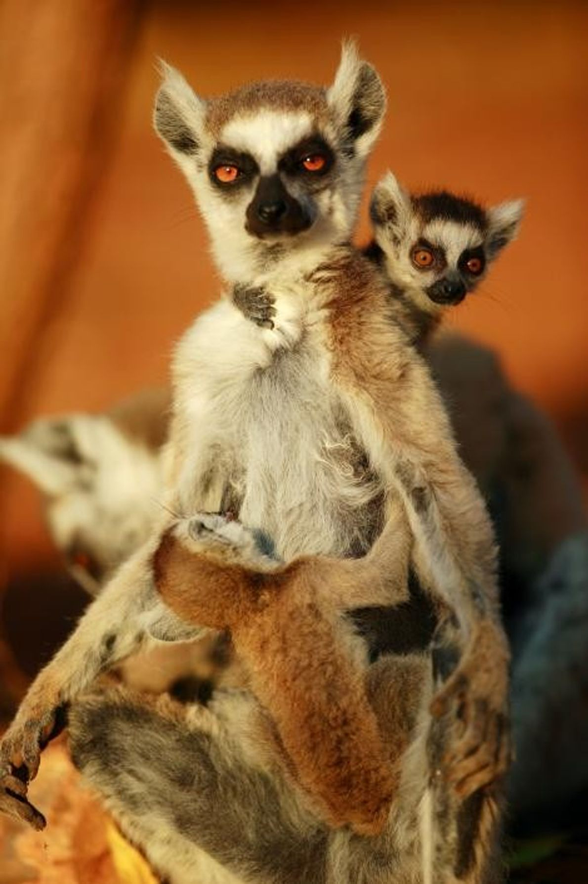 Mamá lémur de cola anillada