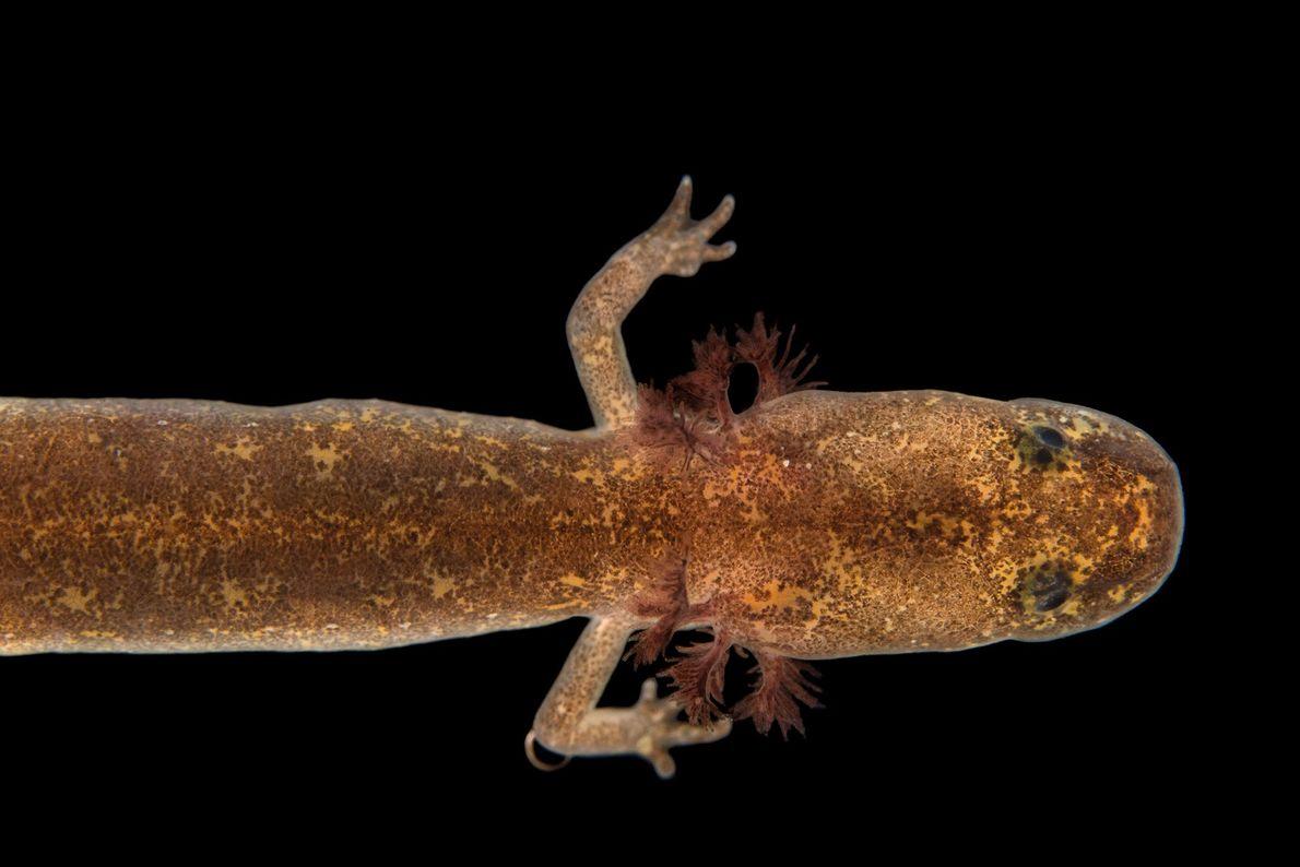 Una Eurycea chisholmensis