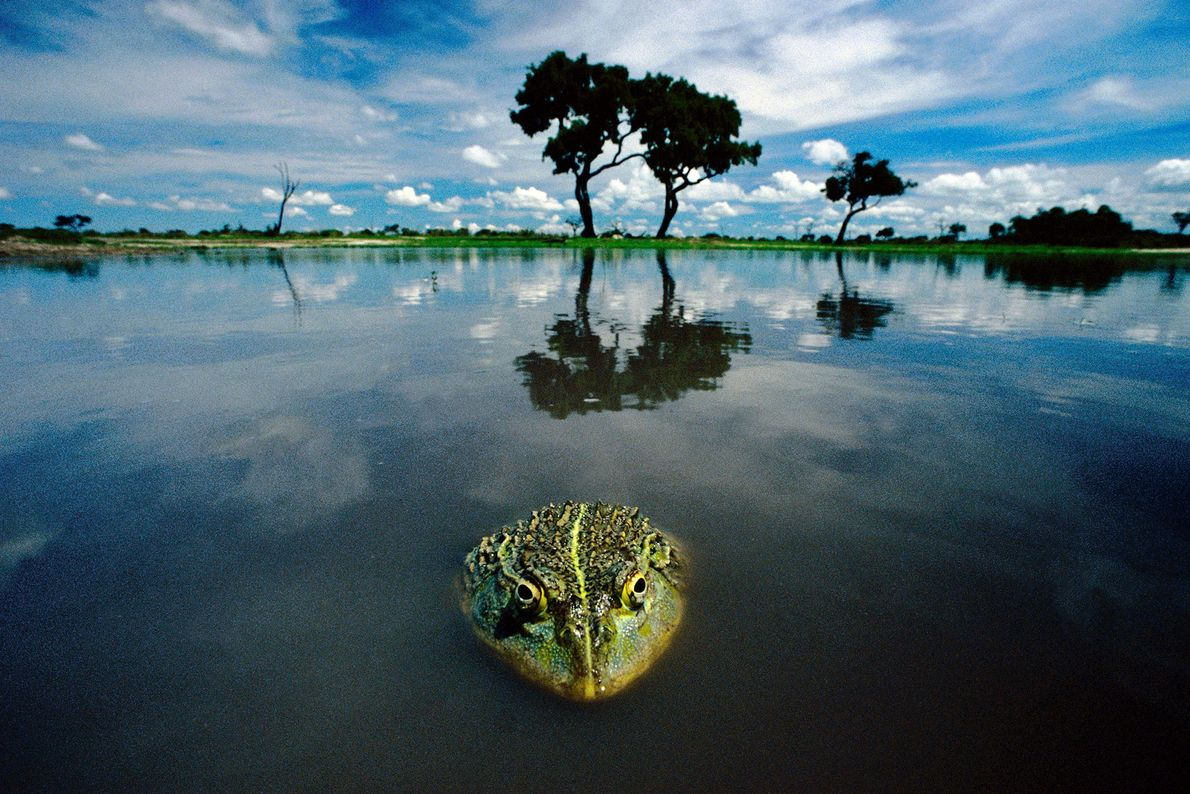Una rana toro africana