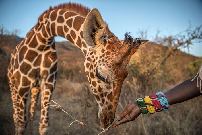 Una jirafa huérfana