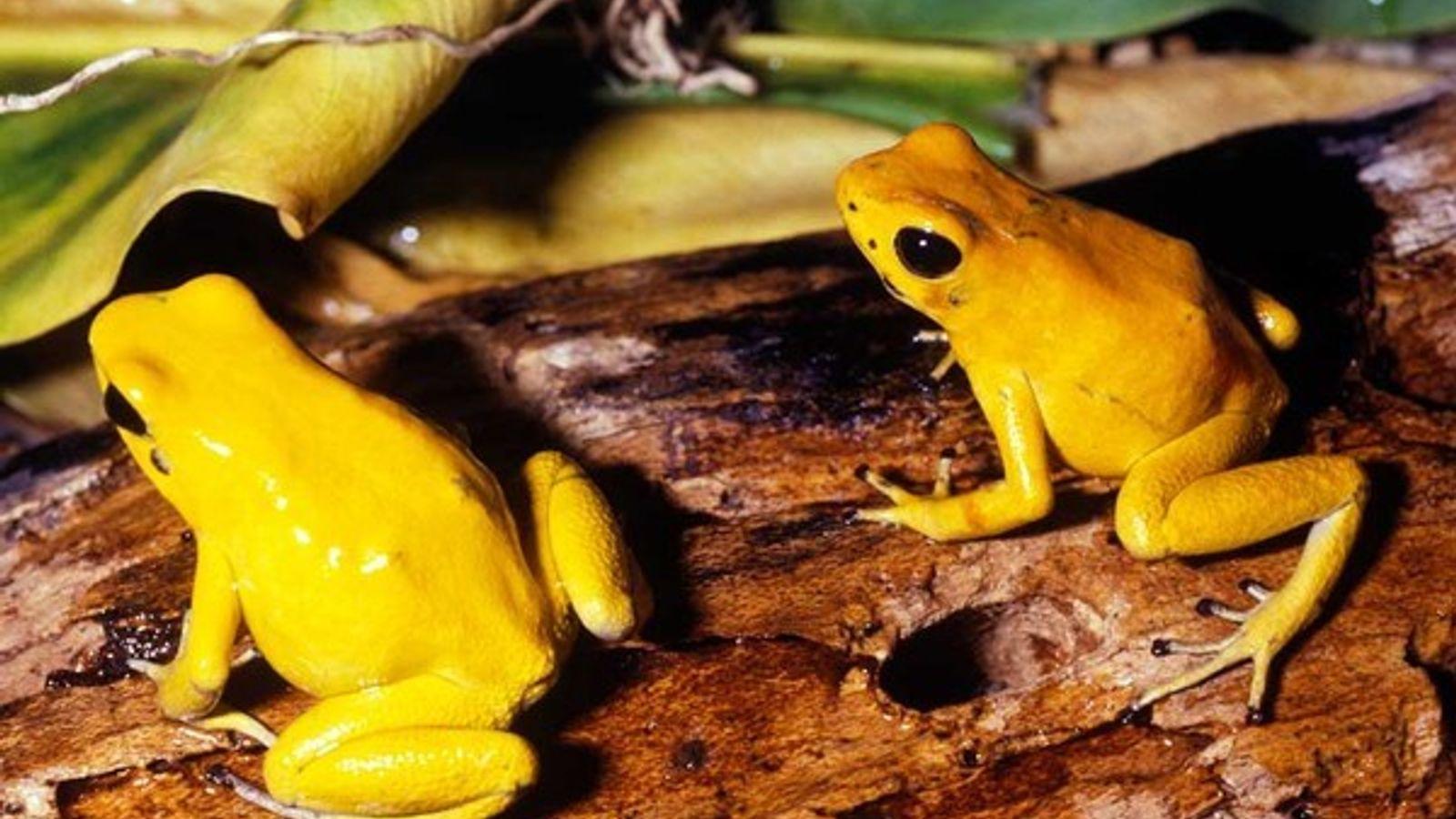 Dos ranas doradas venenosas