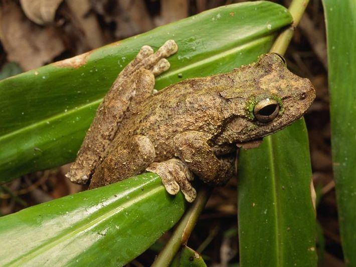 Árbol de la rana de ojos verdes