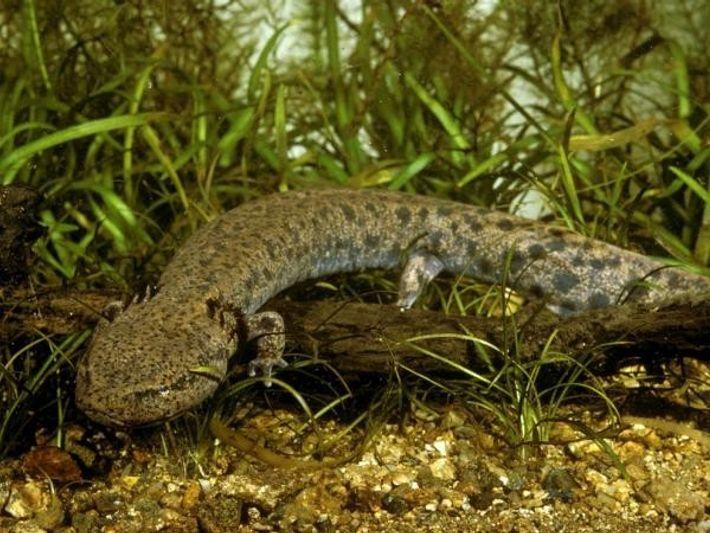 ¿Que sonidos emiten las salamandras?