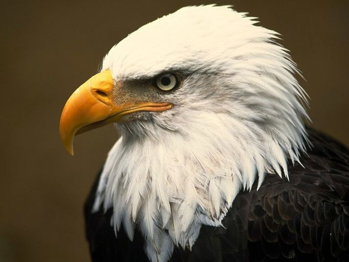 Hermosa águila calva