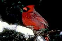 Cardenal en un árbol nevado