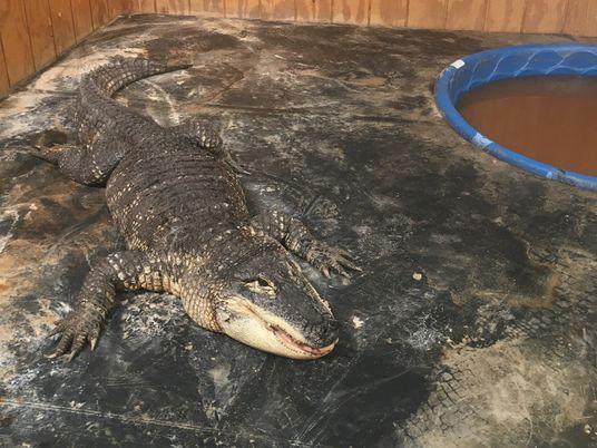 Los aligátores son mascotas terribles: «Es como tener un dinosaurio»