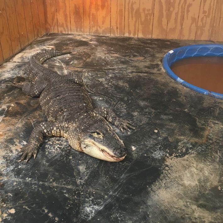 Foto de un aligátor americano