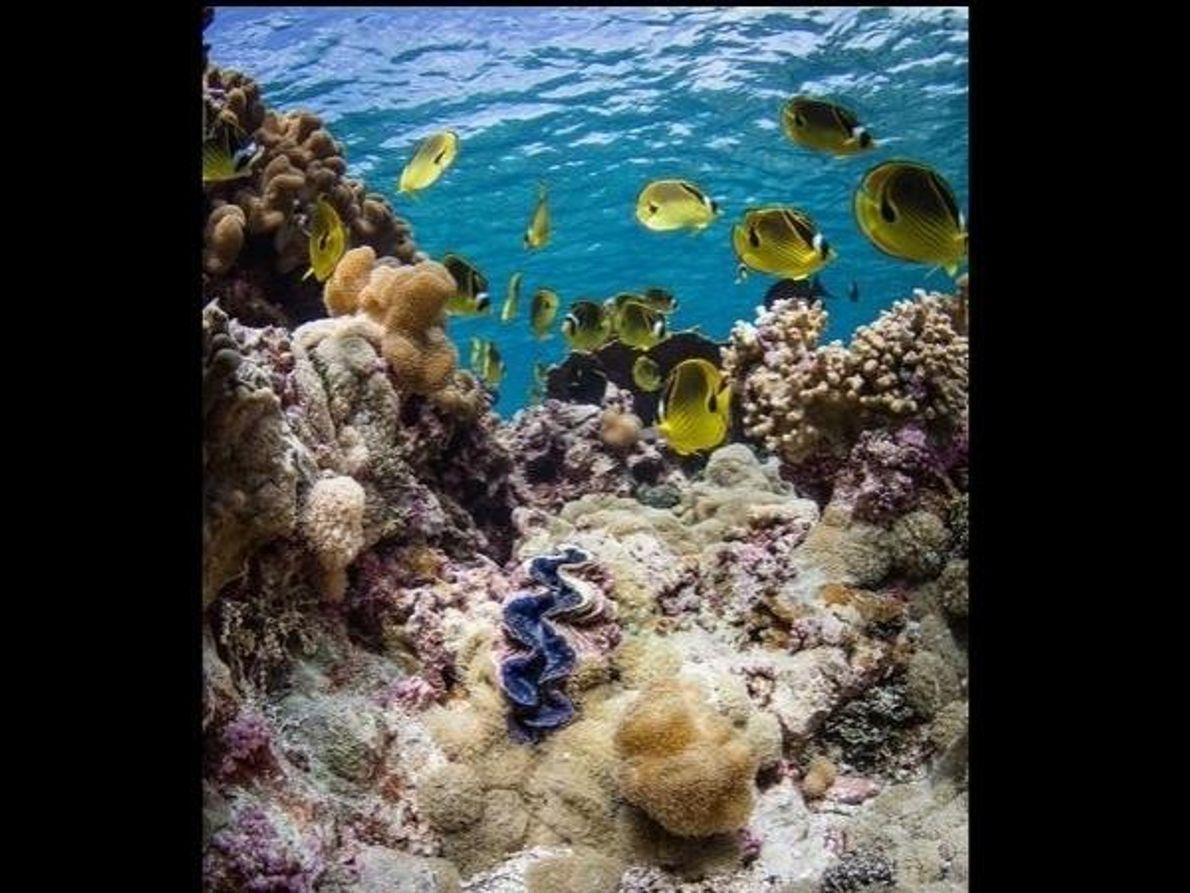 Brillantes peces mariposa amarillos nadan sobre una almeja gigante de color azul en el atolón Palmyra.