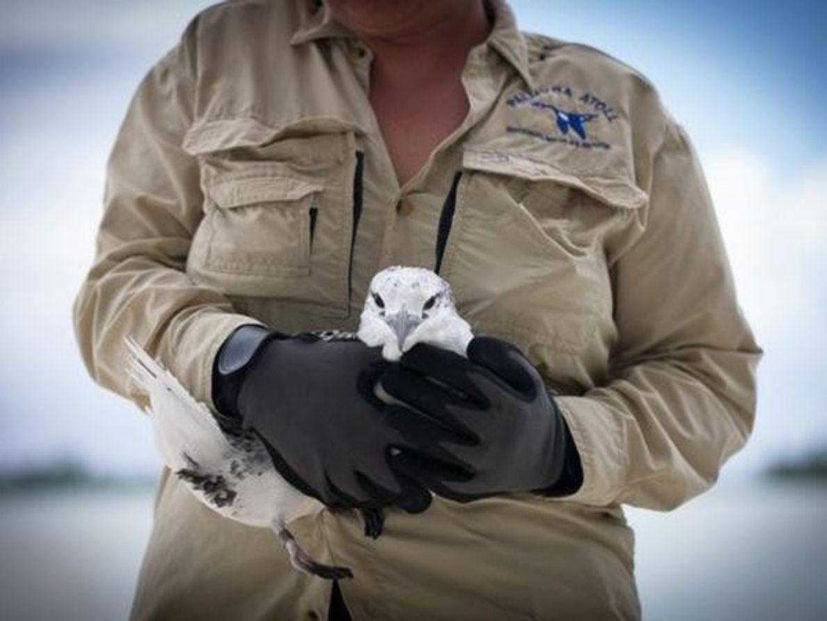 Un ave tropical fue marcada y liberada después por los expertos. Los pasos construidos por los militares …