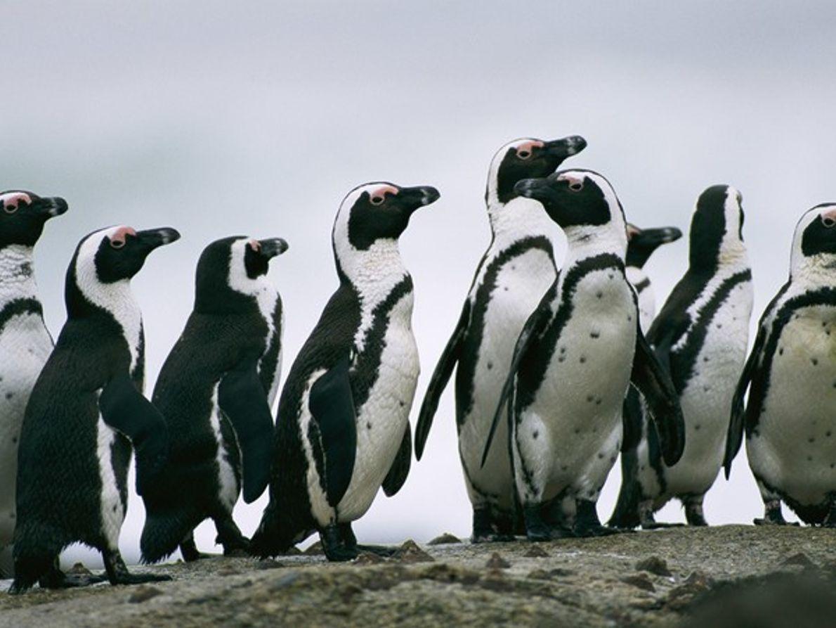 Pingüinos de anteojos