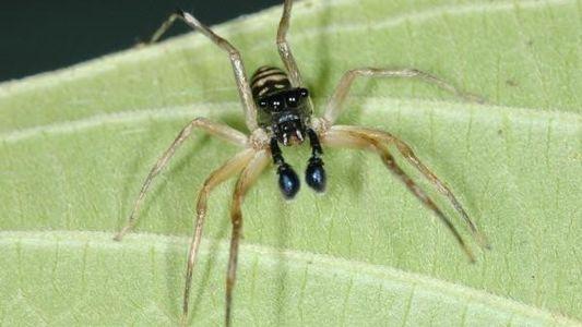 Una araña que te gustará: se alimenta de mosquitos
