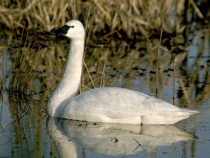 Cisne chico en el agua