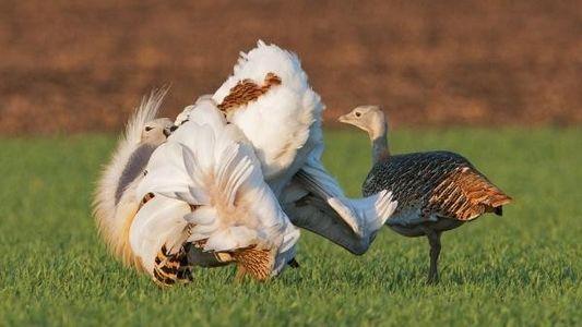 Los machos de avutarda ingieren veneno para atraer a las hembras