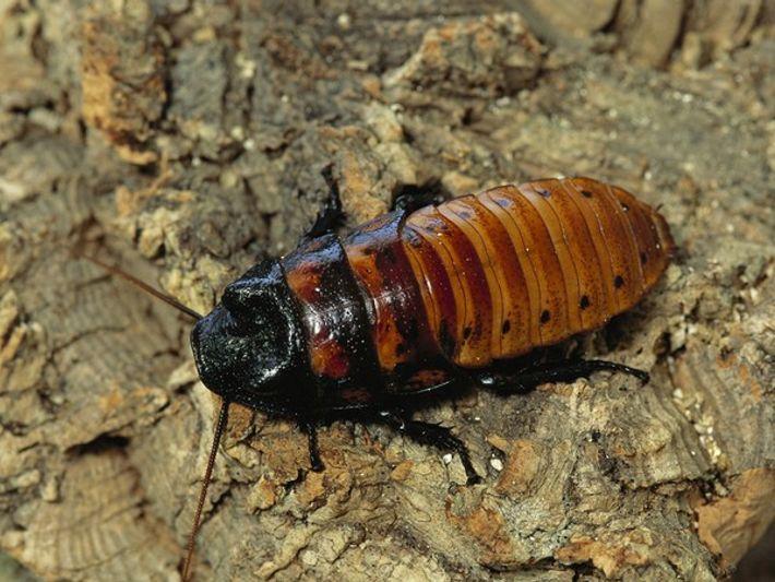 Cucaracha de Madagascar