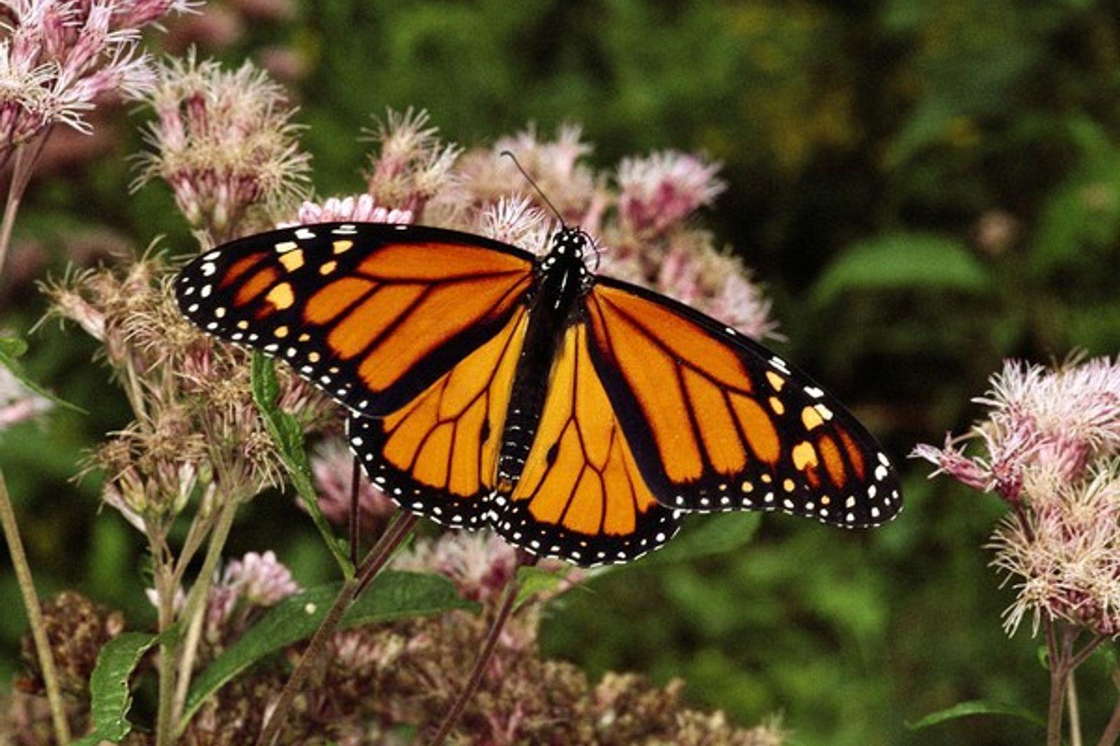 Mariposa monarca sobre una flor