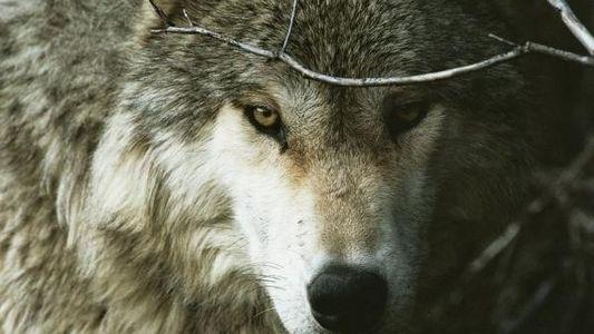 Observan un lobo en el Gran Cañón por primera vez en décadas