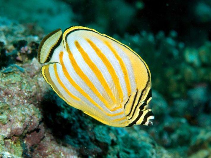 Pez Mariposa sobre un Arrecife de Coral.