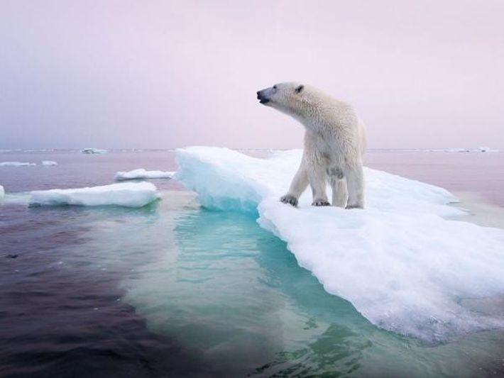 Oso polar en Manitoba (Canadá)