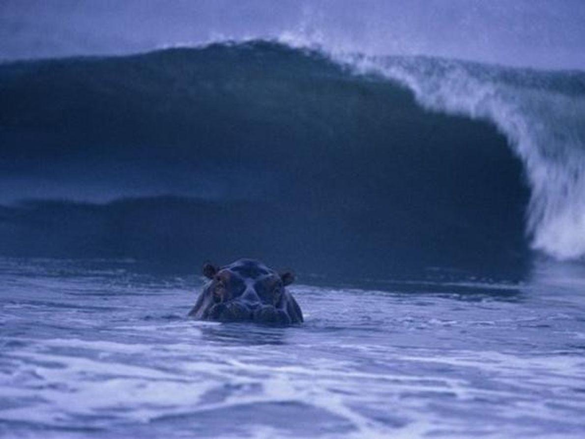 Hipopótamo surfero